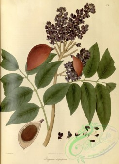 asian_plants-00071 - longamia atropurpurea