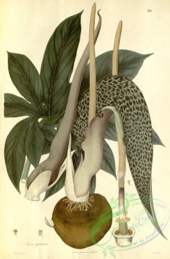 asian_plants-00113 - arum guttatum