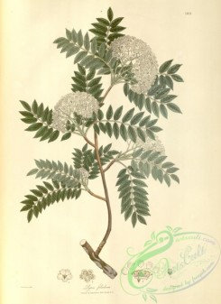 asian_plants-00173 - pyrus foliolosa