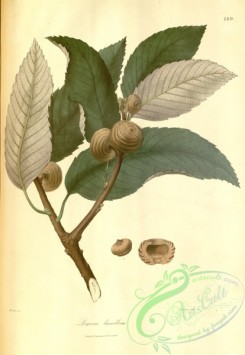 asian_plants-00175 - quercus lamellosa