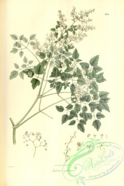 asian_plants-00190 - thalictrum cysticarpum