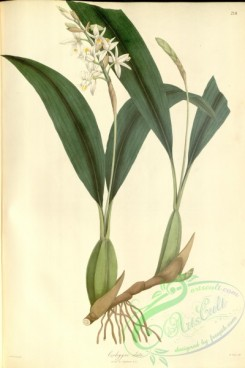 asian_plants-00217 - coelogyne elata