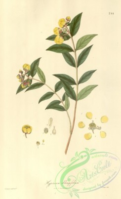 asian_plants-00242 - hypericum oblongifolium