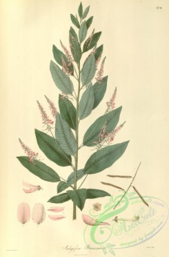asian_plants-00244 - indigofera brunoniana