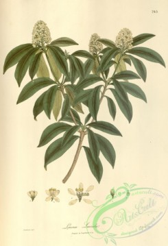 asian_plants-00251 - limonia laureola
