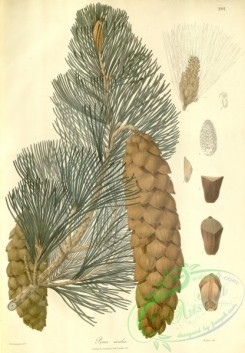 asian_plants-00263 - pinus excelsa