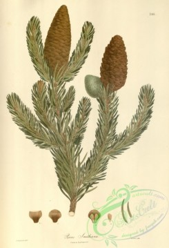 asian_plants-00264 - pinus smithiana