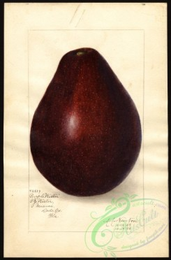 avocado-00015 - 4441-Persea-Purple Wester [2636x4000]