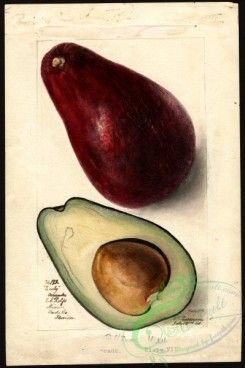 avocado-00048 - 4560-Persea-Early [2664x4000]