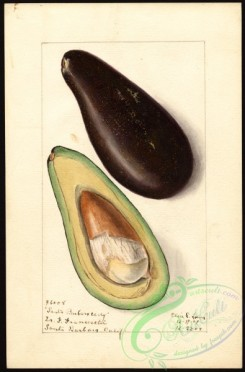 avocado-00073 - 4585-Persea-Santa Barbara Early [2636x4000]