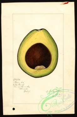 avocado-00078 - 4590-Persea-Spinks [2624x4000]