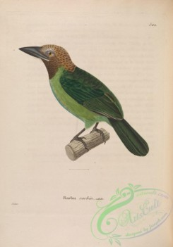 barbets-00004 - Brown-throated Barbet