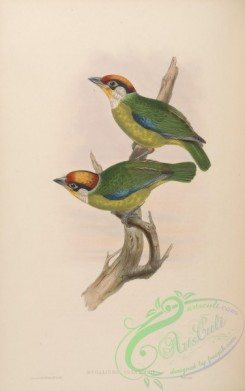 barbets-00015 - Franklin's Barbet