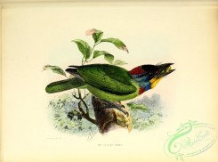 barbets-00114 - Chinese Barbet