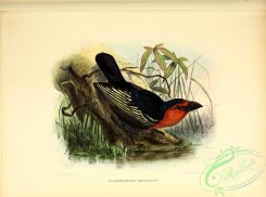 barbets-00146 - pogonorhynchus abyssinicus