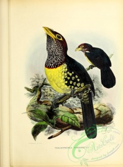 barbets-00172 - Yellow-billed Barbet