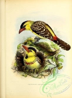 barbets-00173 - Yellow-breasted Barbet