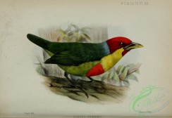 barbets-00186 - capito steerii
