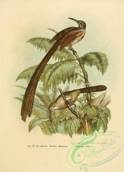 bee_eaters-00002 - promerops caffer