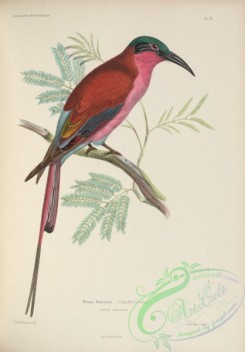 bee_eaters-00006 - Southern Carmine Bee-eater