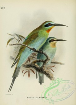 bee_eaters-00009 - BLUE-CHEEKED BEE-EATER