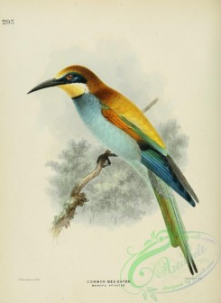 bee_eaters-00010 - COMMON BEE-EATER