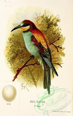 bee_eaters-00012 - Bee-eater