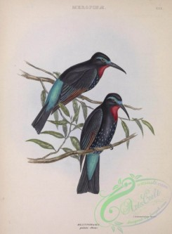 bee_eaters-00020 - Black Bee-eater