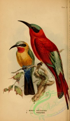 bee_eaters-00029 - White-fronted Bee-eater, Southern Carmine Bee-eater