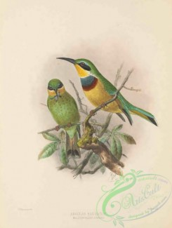 bee_eaters-00073 - Angolan Bee-eater, melittophagus sonninii