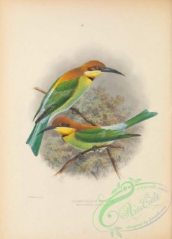 bee_eaters-00087 - Chesnut-headed Bee-eater, melittophagus quinticolor