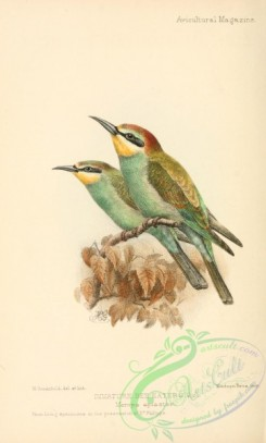 bee_eaters-00109 - Immature Bee-eaters, merops apiaster