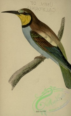 bee_eaters-00110 - Bee-eater