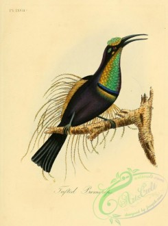 bee_eaters-00125 - Tufted Promerops