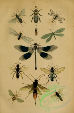 bees-00011 - agrion, panorpa, hemerobius, termes, apis, formica, bembex, sirex, cynips, cimbex,  megalodontes, hylotoma