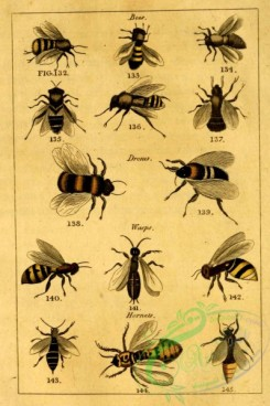 bees-00084 - 003-Bees, Drones, Wasps, Hornets