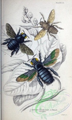 bees-00119 - 012-xylocopa