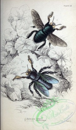 bees-00120 - 013-xylocopa