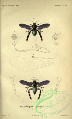 bees-00135 - 030-acanthopus