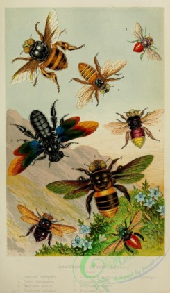 bees-00159 - Beautiful Exotic Bees, centris, oxaea, euglossa, xylocopa
