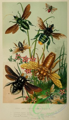 bees-00160 - Bees, xylocopa, euglossa, chrysantheda, anthophora, crocisa
