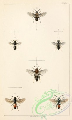 bees-00183 - 001-colletes, prosopis, sphecodes
