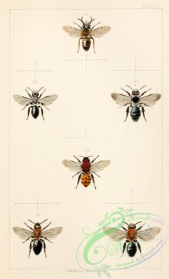 bees-00184 - 002-andrena