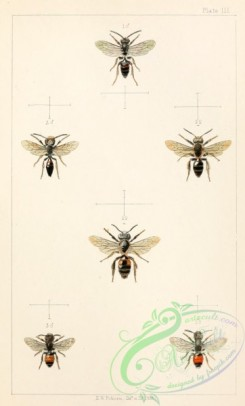 bees-00185 - 003-andrena
