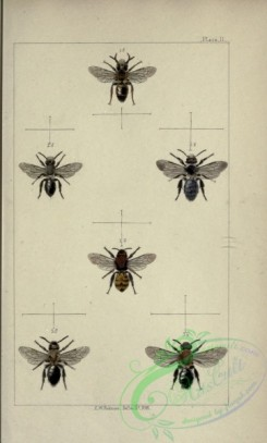 bees-00200 - 002-andrena