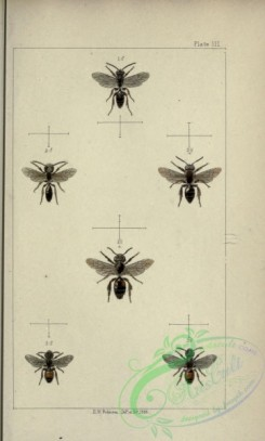 bees-00201 - 003-andrena