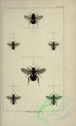bees-00211 - 013-anthidium, chelostoma, heriades