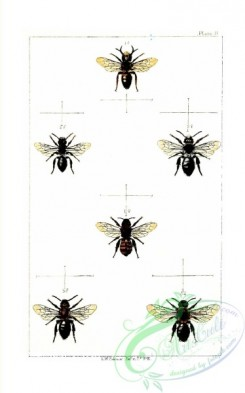 bees-00216 - 002-andrena