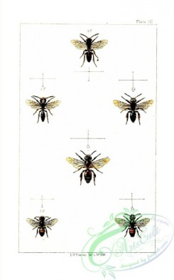 bees-00217 - 003-andrena