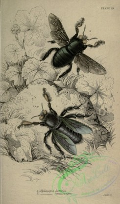 bees-00247 - xylocopa, 2